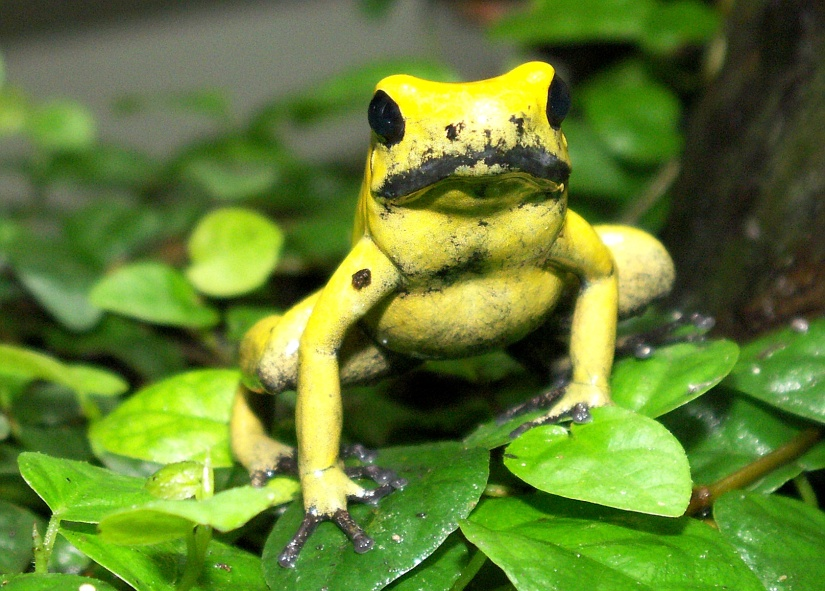 Yellow Frog heißt YELLOW FROG, weil…